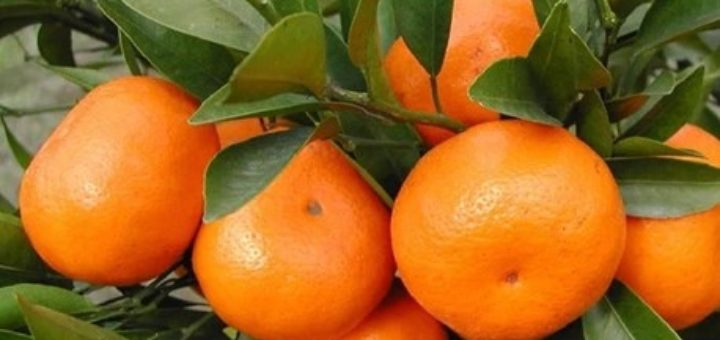50-Pcs-Mini-Potted-Edible-Fruit-font-b-Seeds-b-font-Bonsai-font-b-Orange-b.jpg