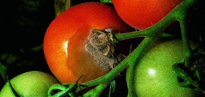 putregai-cenusiu-tomate-2.jpg