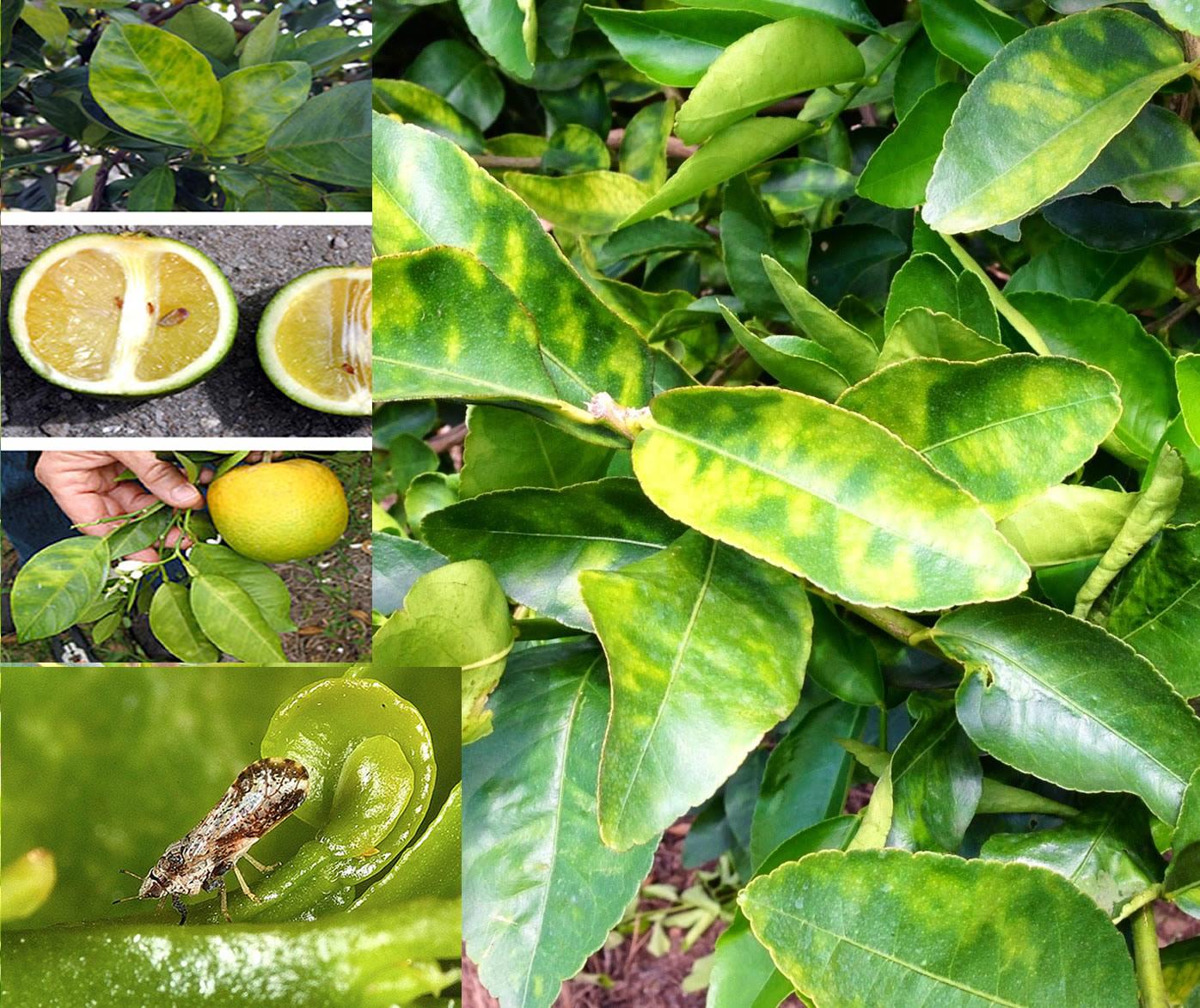 Agrumes le greening la maladie qui a d vast des millions d hectares hortitecnews - La mineuse des agrumes ...
