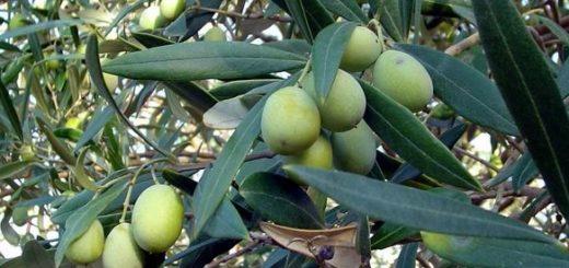 xylella fastidiosa olivier symptômes