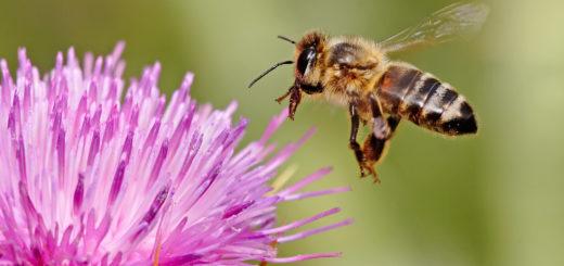 abeille_pesticide.jpg