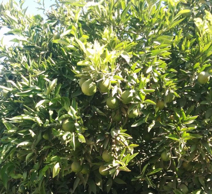 bruno_macrophylla.jpg
