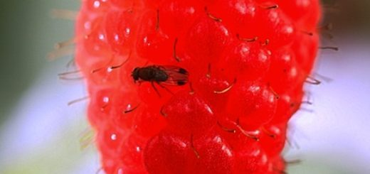 drosophila_suzukii_fruit.jpg