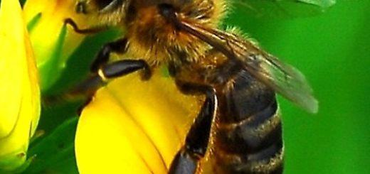abeille_2.jpg