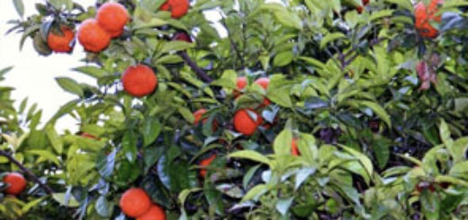 agriculture_la_production_tunisienne_dagrumes_atteint_440.000_tonnes.jpg
