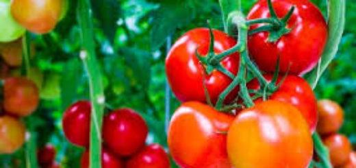 tomate_5.jpg