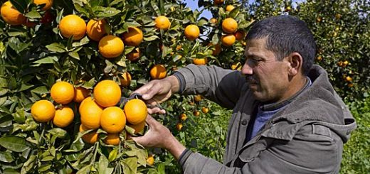 agrumes_tunisie.jpg