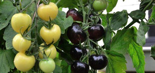 tomate_blanc_et_noir.jpg