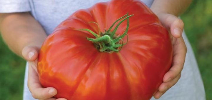 tomate_geante.jpg