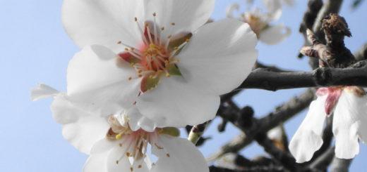 fleur-amandier.jpg