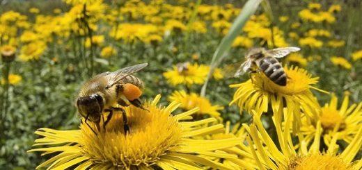 abeillesfleur.jpg