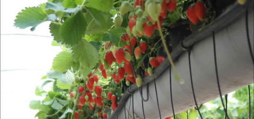 fraise_hors_sol.jpg