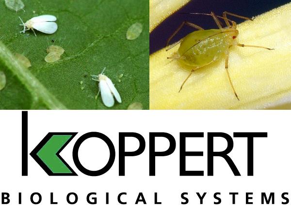 koppert introduit un traitement naturel contre les pucerons et les mouches blanches hortitecnews. Black Bedroom Furniture Sets. Home Design Ideas