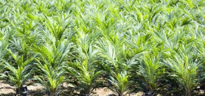 plants_de_palmier.jpg