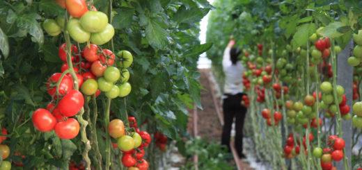 culture_tomate.jpg