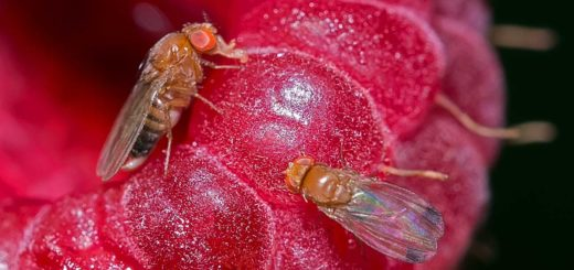 drosophilasuzukii.jpg