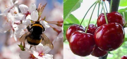 pollinisation_cerisier.jpg