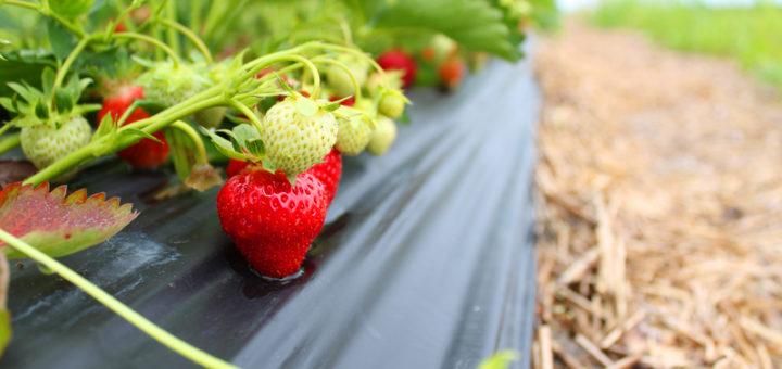 production_fraise.jpg