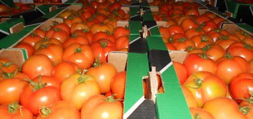 tomate_export.jpg