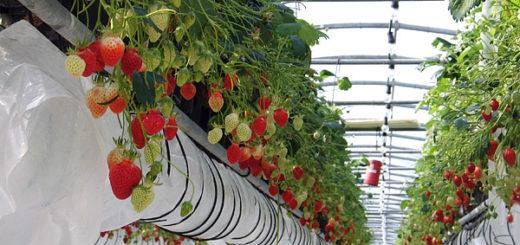 fraises-serre.jpg