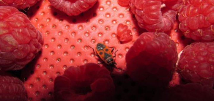 insecte_framboise.jpg
