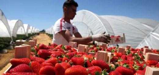 fraise-espagne.jpg