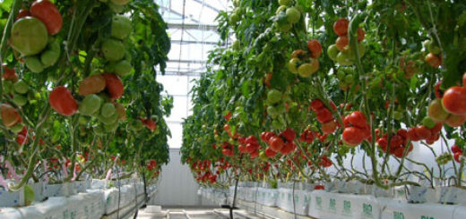 serre_tomates.jpg