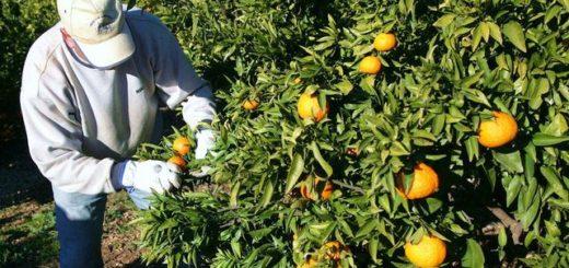 agricultor-recoge-naranjas-huerto_ecdima20141209_0003_26.jpg