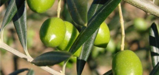 olives-tunisie.jpg