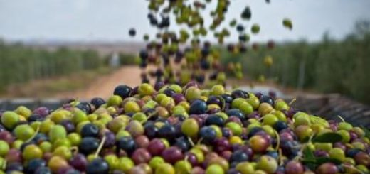 olives_tunisie.jpg