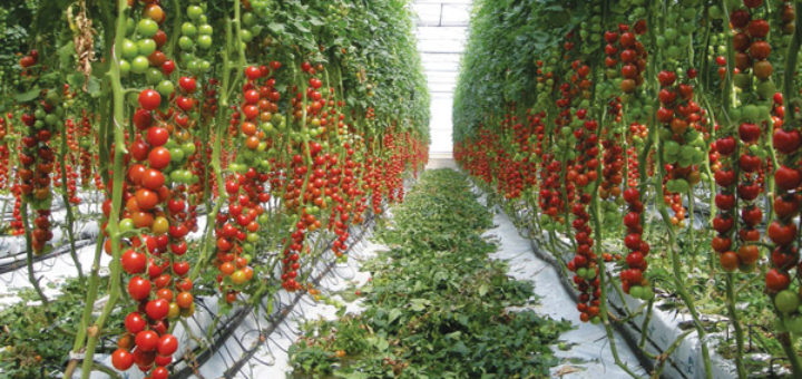 serre_tomate.jpg