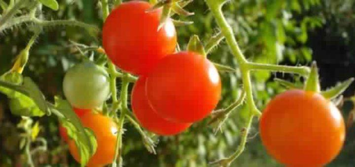 tomate_cerise.jpg