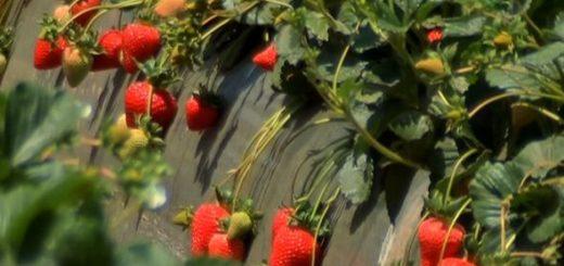 asi-llegan-las-fresas-a_590x395.jpg
