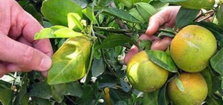 citrusgreening.jpg