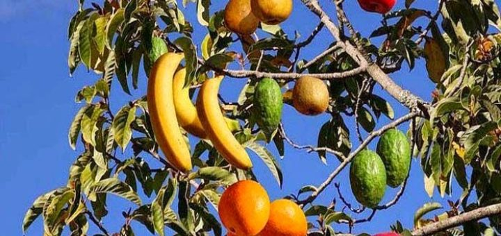 multi-fruit-tree.jpg