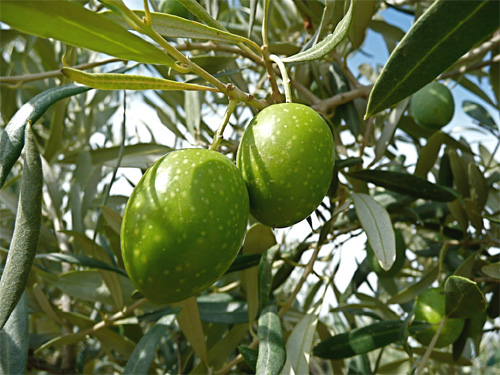 olivie10.08.jpg