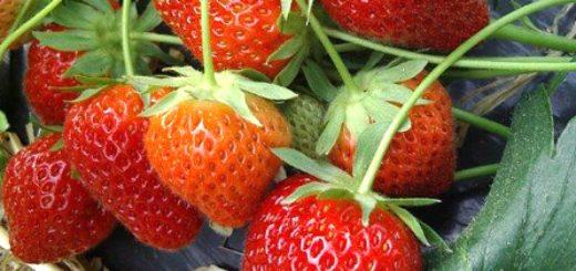 culture_fraise2.jpg