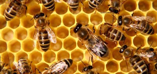 colonie_abeilles.jpg