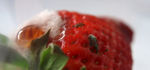 fraise_phenolia_limbata_tibialis.jpg