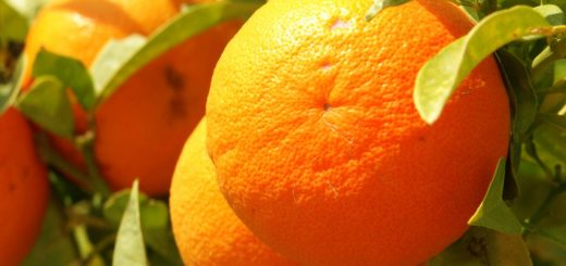 oranges_floride.jpg