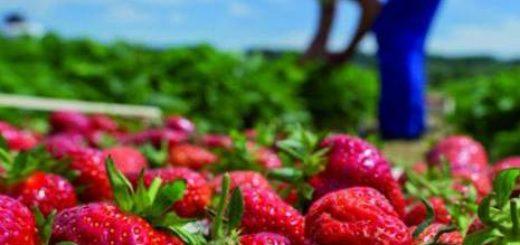 fraise_egypt.jpg