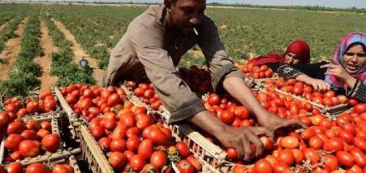 tomate_egypt.jpg