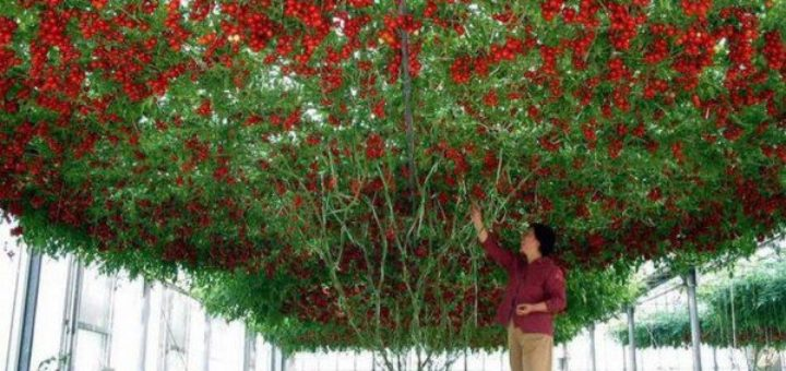 arbre_tomate.jpg