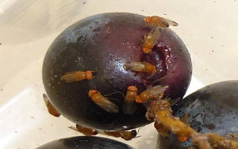 des entomologistes espagnols sugg rent d utiliser le soufre en poudre contre drosophila suzukii. Black Bedroom Furniture Sets. Home Design Ideas