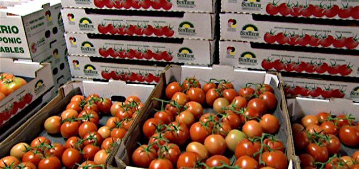 tomates-maroc-export.jpg