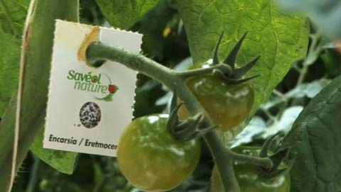 auxiliaire, insecte, tomate