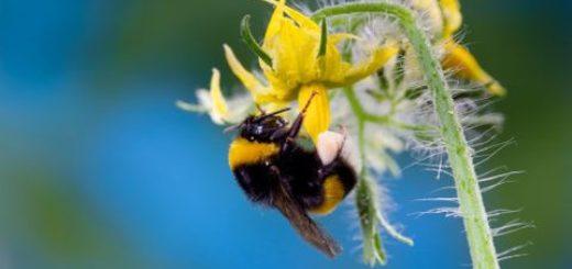 bourdon, pollinisation, tomate