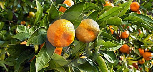 mandarine_fruits.jpg