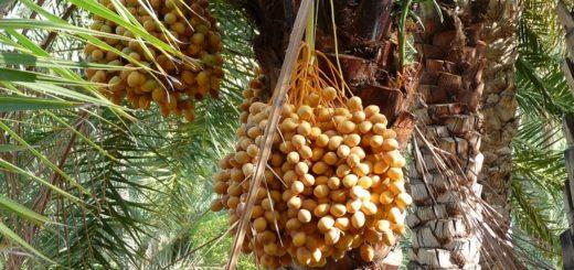 palmier_dattier.jpg