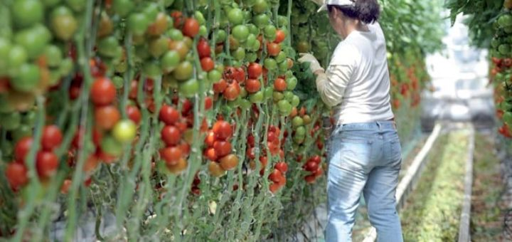 récolte, tomate